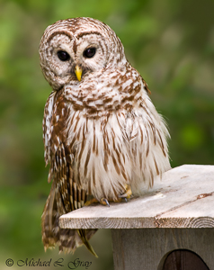 090410-Barred_Owl-35-Edit