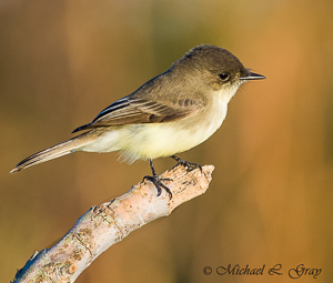 101029-Eastern_Phoebe-001-Edit