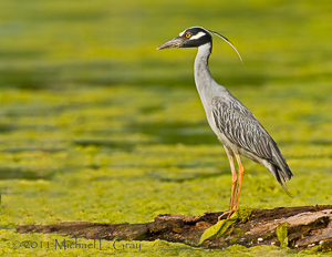 Yellow Crowned Night Heron By Michael Gray