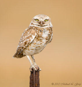 120716-Burrowing_Owl-039-Edit