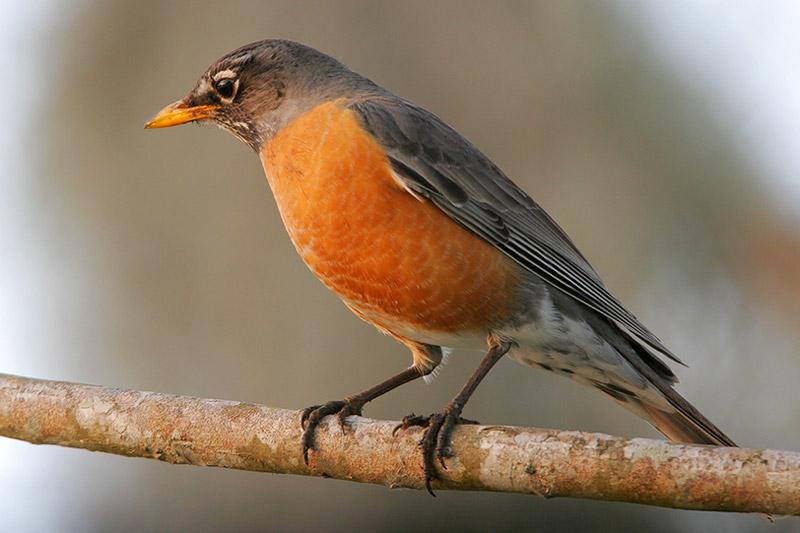 Robins Food Diet