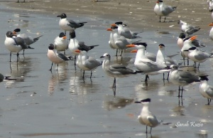 Flock of gulls and terns with two Franklin's Gulls