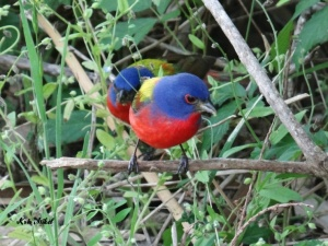 Two Painted Buntings