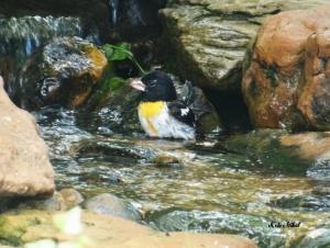Yellow-breasted Grosbeak
