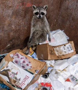 young raccoon in gcbo dumpster