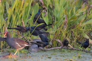 Common Grackles with a Common Gallinule