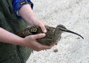 whimbrel_Hope_with_transmitter