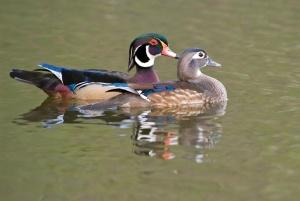 20080325-Wood_Duck-032
