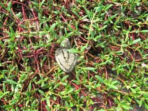 baby chick on salicornia resized