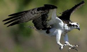 osprey10b