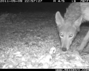 UGalB001 coyote