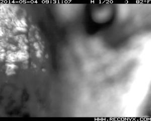 USwanL038 coyote