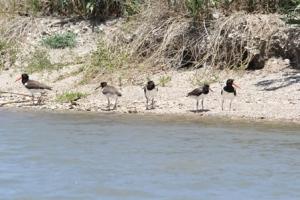 Jones Bay family with three chicks resized