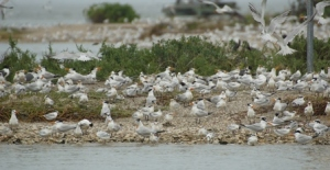 terns on Jigswa